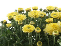 Yellow chrysanthemum on white Stock Photos