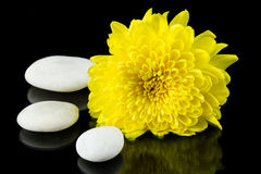 Yellow chrysanthemum and white stone. Royalty Free Stock Image
