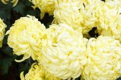 Yellow chrysanthemum, adobe rgb royalty free stock photos