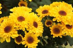 Yellow Chrysanthemums royalty free stock photo