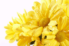 Yellow chrysanthemums. Bouquet of yellow chrysanthemums on a white background Stock Images