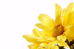 Yellow chrysanthemums. Bouquet of yellow chrysanthemums on a white background Royalty Free Stock Images