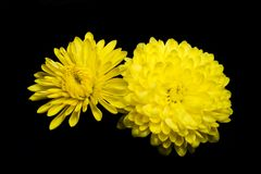 Yellow Chrysanthemums Stock Images