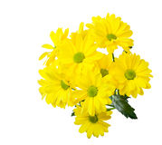 Yellow chrysanthemums Royalty Free Stock Photos