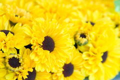 Yellow chrysanthemums Stock Photography