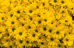 Yellow chrysanthemums. As natural background Royalty Free Stock Photos