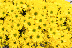 Yellow chrysanthemums as natural background Royalty Free Stock Photos