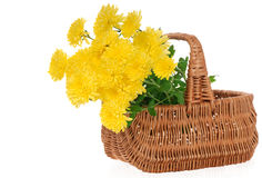 Yellow chrysanthemums in basket Royalty Free Stock Image