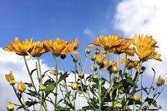 Yellow chrysanthemums. Beautiful bright yellow chrysanthemums on a sunny sky Stock Photography