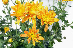 Yellow chrysanthemums. Beautiful bright yellow chrysanthemums on a white background Royalty Free Stock Images