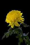Yellow chrysanthemums on a black background Royalty Free Stock Photography