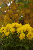 Yellow chrysanthemums in bloom in the fall in the garden close u Stock Photo