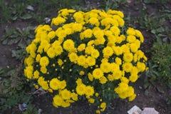 Yellow chrysanthemums Royalty Free Stock Image