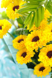 Yellow chrysanthemums in close-up Royalty Free Stock Photo