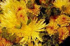 Yellow chrysanthemums flower background Stock Images