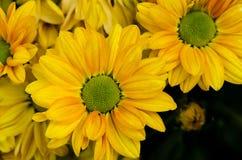 Yellow chrysanthemums flower background, petals chrysanthemums Stock Image
