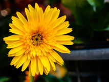 Yellow chrysanthemums flower Royalty Free Stock Images