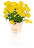Yellow chrysanthemums in flowerpot Royalty Free Stock Image