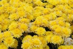 Yellow chrysanthemums flowers Royalty Free Stock Photo