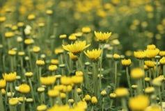 Yellow chrysanthemums flowers in the garden Stock Photos