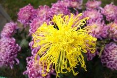 Yellow chrysanthemums Stock Photos