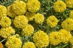 Yellow chrysanthemums in full bloom Royalty Free Stock Photos