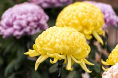 Yellow chrysanthemums in Japanese greenhouse. Close-up. Yellow chrysanthemums in Japanese greenhouse. Close-up Stock Images