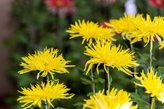 Yellow chrysanthemums in Japanese greenhouse. Close-up. Yellow chrysanthemums in Japanese greenhouse. Close-up Royalty Free Stock Images