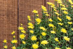Yellow chrysanthemums in Japanese greenhouse. Close-up. Yellow chrysanthemums in Japanese greenhouse. Close-up Royalty Free Stock Photo