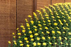 Yellow chrysanthemums in Japanese greenhouse. Close-up. Yellow chrysanthemums in Japanese greenhouse. Close-up Royalty Free Stock Photography