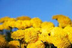 Yellow chrysanthemums Stock Image