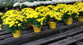 Yellow chrysanthemums Stock Photos