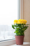 Yellow Chrysanthemums On Window Sill Stock Image
