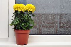 Yellow Chrysanthemums On Window Sill Stock Photo