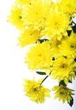Yellow chrysanthemums Royalty Free Stock Images