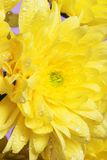 Yellow chrysanthemums Stock Images
