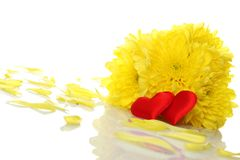 Yellow chrysanthemums with two red hearts Stock Images