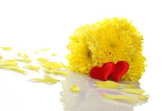 Yellow chrysanthemums with two red hearts Stock Photo