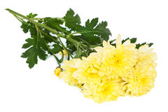 Yellow chrysanthemums Royalty Free Stock Photography