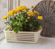 Yellow chrysanthemums  on window Royalty Free Stock Images