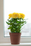 Yellow chrysanthemums on window sill Stock Image