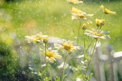 Yellow Chrysanthemums wit water drops. shallow depth of field. Chrysanthemum wallpaper. Chrysanthemum flowers as a background close up. Yellow Chrysanthemums wit royalty free stock photo