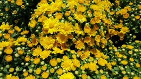Yellow Chrysanths  /  Garden mums Stock Photos