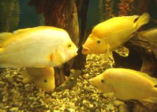 Yellow cichlid Royalty Free Stock Photos