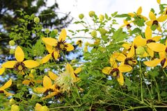 Yellow Clematis blooming at Moose Jaw Garden. Yellow late blooming Clematis at Moose Jaw Garden Stock Photography