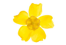Yellow clematis flower cutout Stock Photo