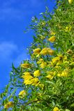 Yellow clematis flowers over blue sky. Yellow clematis flowers over the blue sky background Royalty Free Stock Images