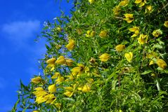 Yellow clematis flowers over blue sky Stock Image