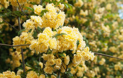 yellow climbing rose flowers Royalty Free Stock Photo