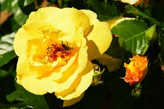Yellow climbing rose Rosacea with western honey bee Apis Mellifera collecting pollen inside Royalty Free Stock Photo